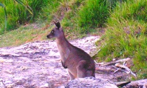 KangarooatthePoint.jpg