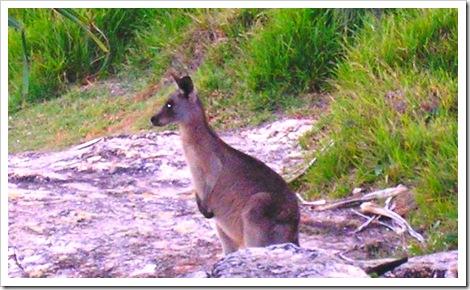 Kangaroo at the Point