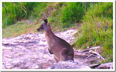 Kangaroo at the Point