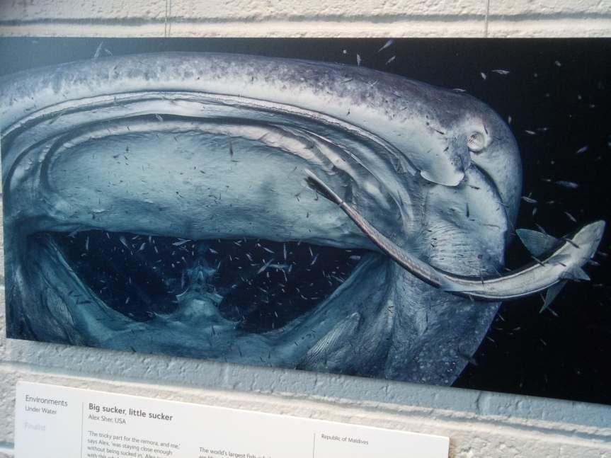 whale shark remora