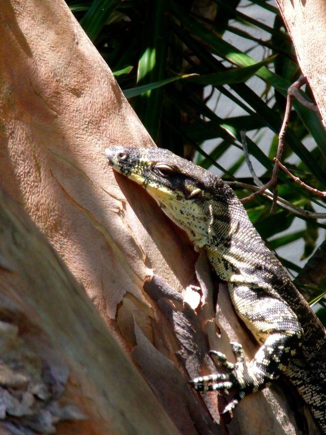 Lizard at Los Nidos
