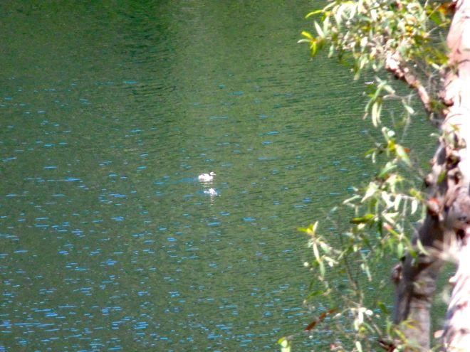 Duck on Blue Lake