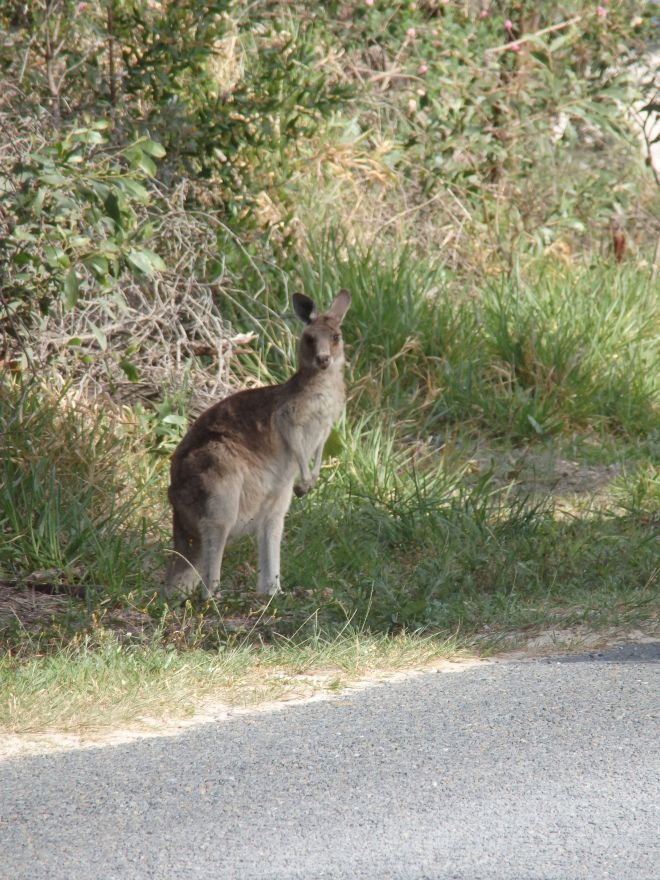 Grey Kangaroo on George Nothing Drive