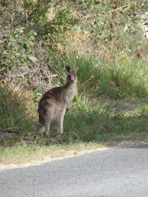 Grey Kangaroo on George Nothing Drive