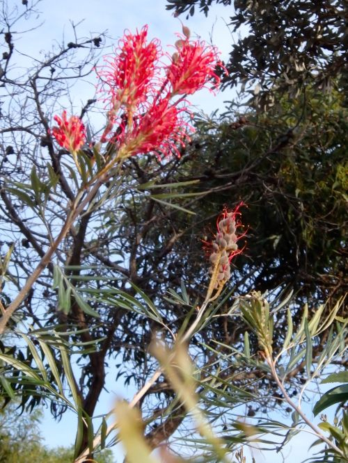 Grevillea near 'the Ledge'