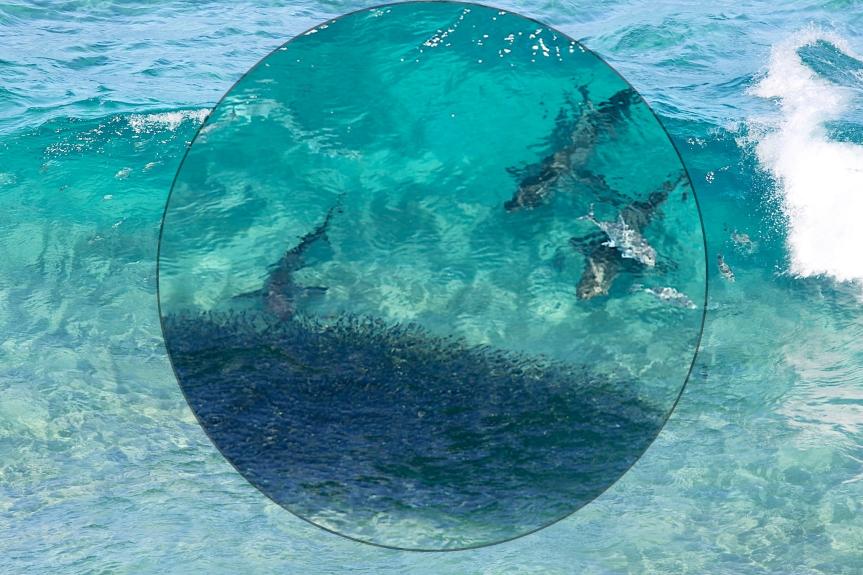 The Shark isFeeding